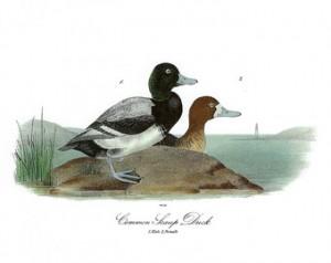 Broad Bill Ducks
