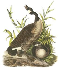 canada-goose-john-james-audubon